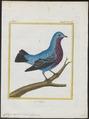 Cotinga caerulea - 1700-1880 - Print - Iconographia Zoologica - Special Collections University of Amsterdam - UBA01 IZ16600059.tif