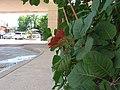 Cotinus Obovatus (American Smoke Tree) - panoramio.jpg