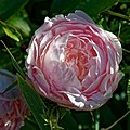 Cottage garden pink peony bloom at Boreham, Essex, England.jpg
