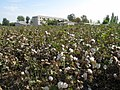 Cotton Fields (3968815782).jpg