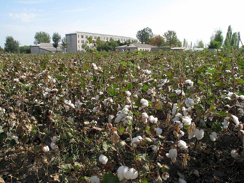 File:Cotton Fields (3968815782).jpg