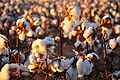 Cotton field kv29.jpg