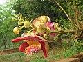 Couroupita guianensis - Cannon Ball Tree at Peravoor (21).jpg