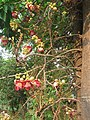 Couroupita guianensis - Cannon Ball Tree at Peravoor (35).jpg