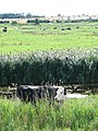 Cows grazing the marshes south of the River Yare - geograph.org.uk - 1445614.jpg