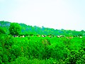 Cows on the Hill - panoramio.jpg