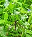 Crane-fly (18404775581).jpg