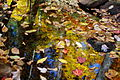 Creek-leaves-floating - West Virginia - ForestWander.jpg