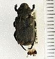 Cremastocheilus knochii LeConte, 1853 - 5435762525.jpg