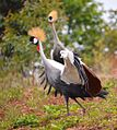 Crested Crane, Uganda (15181757179).jpg