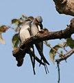 Crested Treeswift (Hemiprocne coronata) in Kawal WS, AP W IMG 2132.jpg
