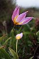 Cretan Tulip3(js).jpg