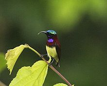 Crimson-backed Sunbird (Leptocoma minima)-6.jpg