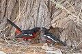 Crimson-breasted Shrike (Laniarius atrococcineus) feeding its young ... (44303938590).jpg