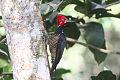 Crimson-crested Woodpecker (Campephilus melanoleucos) (8079748817).jpg