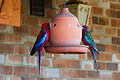 Crimson Rosella (Platycercus elegans)-on feeder.jpg