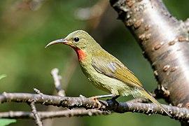 Crimson sunbird female (2).jpg