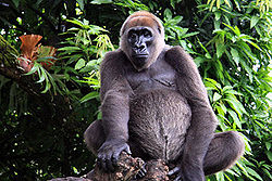 Cross river gorilla (G. g. diehli)