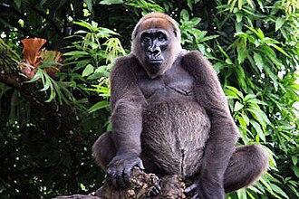 Cross River gorilla - Image: Cross river gorilla