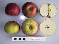 Cross section of Newport Cross, National Fruit Collection (acc. 1957-236).jpg