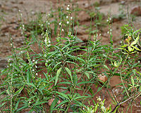 Croton bonplandianus in Hyderabad, AP W IMG 9292