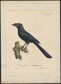 Crotophaga ani - 1825-1834 - Print - Iconographia Zoologica - Special Collections University of Amsterdam - UBA01 IZ18800135.tif