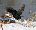 Crow taking off.jpg