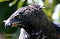 Crowned-eagle-1.jpg