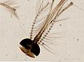 Culicidae (YPM IZ 098027).jpeg