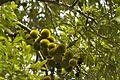 Cullenia exarillata fruiting branch DSC 2359.jpg