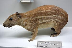 Lowland paca - Image: Cuniculus paca Museo Civico di Storia Naturale Giacomo Doria Genoa, Italy DSC02862