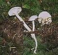 Cuphophyllus virgineus (32782483841).jpg