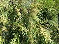 Cupressus funebris.jpg