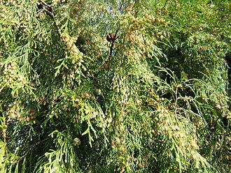 Cupressus funebris - Foliage with pollen and seed cones