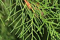 Cupressus torulosa (Himalayan Cypress) (31295232845).jpg