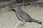 Curve-billed Thrasher (Toxostoma curvirostre).jpg