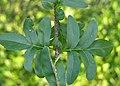 Cutleaf Lilac Syringa laciniata Leaves 3264px.jpg