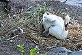 Cygnus olor (Küken) - Arboretum 2011-05-30 19-59-24.JPG
