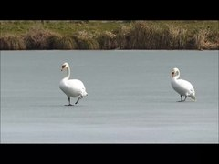 Fichier:Cygnus olor walking on ice.webm