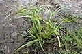Cyperus eragrostis kz02.jpg