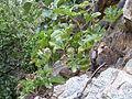 Cyphostemma cirrhosum, c, Roodekrans.jpg