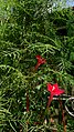 Cypress Vine (Ipomoea quamoclit) 2.jpg