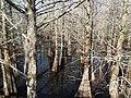 Cypress buttresses.jpg