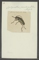 Cyrtognathus - Print - Iconographia Zoologica - Special Collections University of Amsterdam - UBAINV0274 032 03 0006.tif