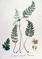 Cystopteris fragilis — Flora Batava — Volume v14.jpg