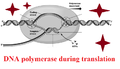 DNA polymerase translation.png