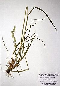 Dactylis glomerata BW-1979-0522-0485.jpg