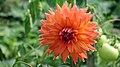 Dahlia Flower (Asteraceae).jpg
