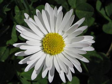 Daisy ntgr.JPG
