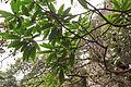 Daphniphyllum macropodum - Mount Sanqing 2015.09.08 12-00-26.jpg